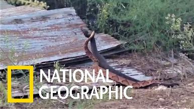 棉口蝮 VS 銅頭蝮──罕見的跨物種交配權鬥爭