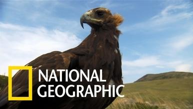 金鵰能看到人眼看不見的紫外線光譜,藉此偵測獵物留下的尿液痕跡