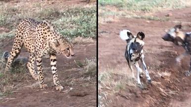 非洲野犬想搶獵豹的食物,究竟哪一方才是贏家?