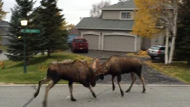 在阿拉斯加一處寧靜社區內「拚輸贏」的公駝鹿