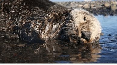 岸上集體死亡的海獺,到底怎麼了?