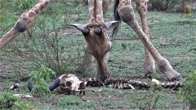 什麼!長頸鹿會啃骨頭!
