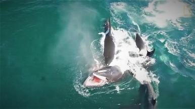 罕見畫面:目擊虎鯨群獵殺小鬚鯨