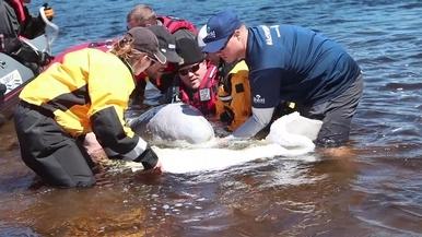 小白鯨大救援! 看救援團隊如何拯救一隻受困於河中的白鯨