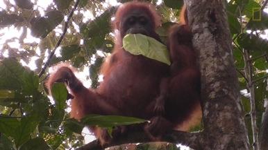 新發現:紅毛猩猩竟然到了這年紀還喝奶?