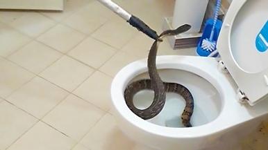 上廁所注意!馬桶裡有蛇