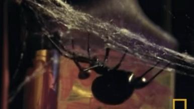 黑寡婦蜘蛛