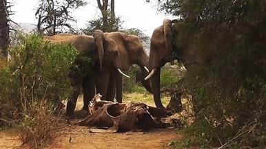 罕見畫面:大象也懂得「哀悼」?