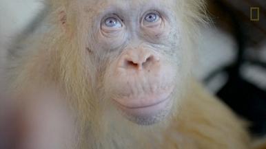 罕見畫面:稀有白化症紅毛猩猩