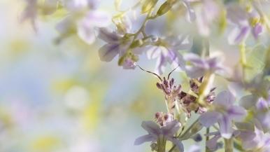 認識偽裝高手:蘭花螳螂