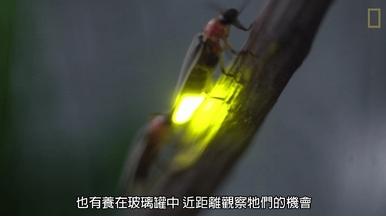 螢火蟲同步發光  是為了遇見對的牠