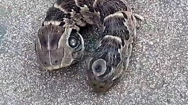 花園驚見雙頭蛇?!事實可能會讓你嚇一大跳