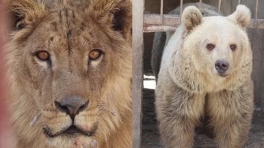 戰火下動物園僅存的熊與獅