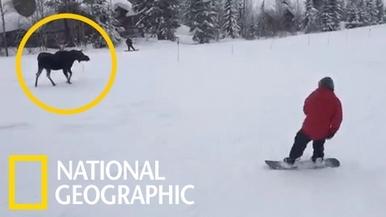 這頭駝鹿不是滑雪障礙賽道的新設施啦!