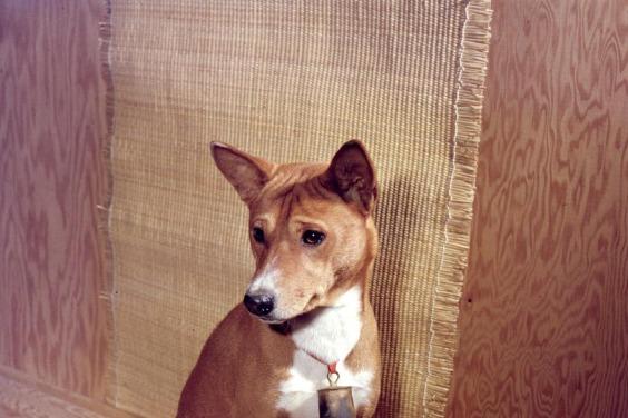 親人的狗狗或許源自古代愛與人類玩耍的狼