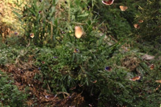 「紫蝶幽谷」每年50萬隻蝴蝶 創生態與觀光雙贏 全球暖化卻成隱憂