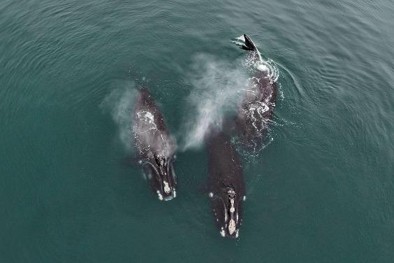 瀕危鯨魚的罕見「擁抱」行為