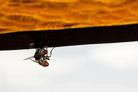 蒼蠅的短暫交配
