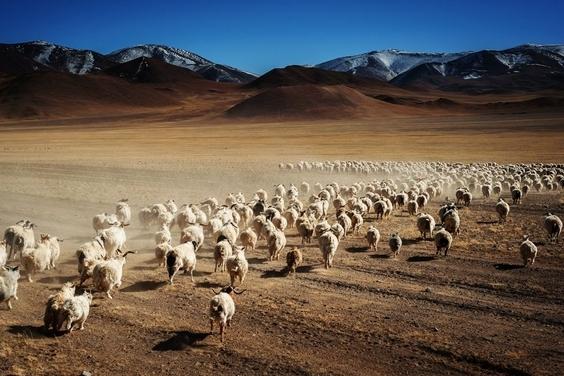 中國:邂逅羊群