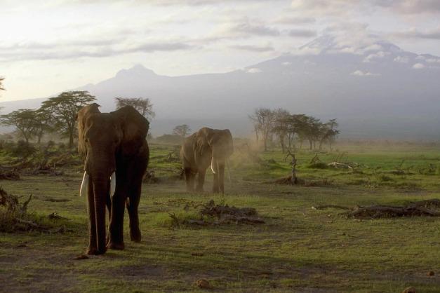 安博塞利的大象