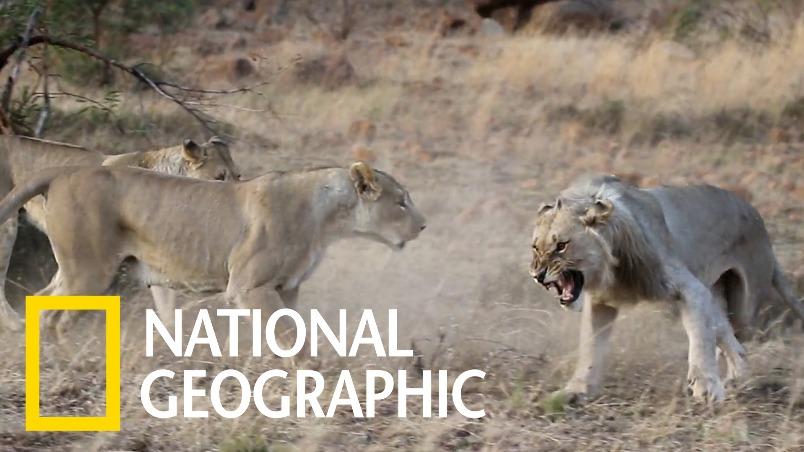 罕見畫面:年輕公獅被逐出獅群