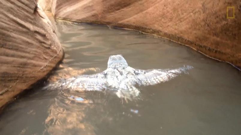 山谷中撞見一隻正在游泳的貓頭鷹!