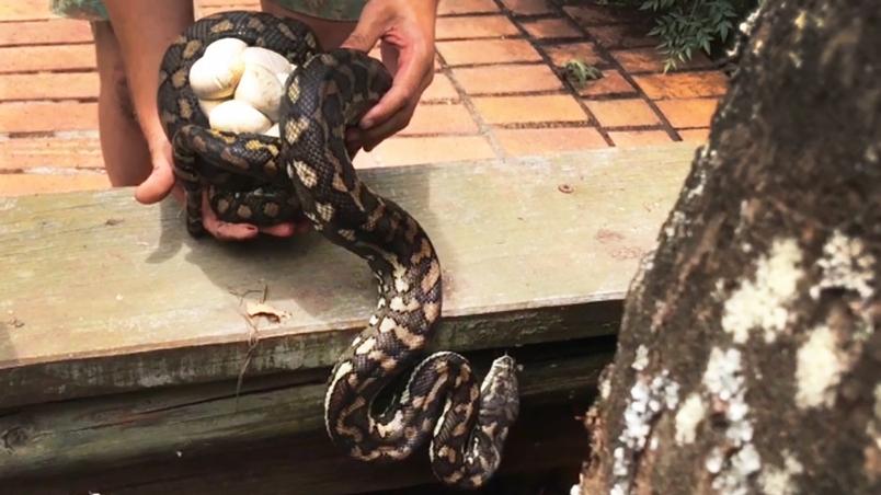 捕蛇人發現,陽臺下的地毯蟒還附加了「驚喜蛋」