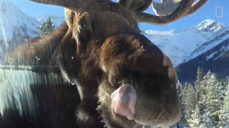 駝鹿舔車窗的真正目的:為健康著想
