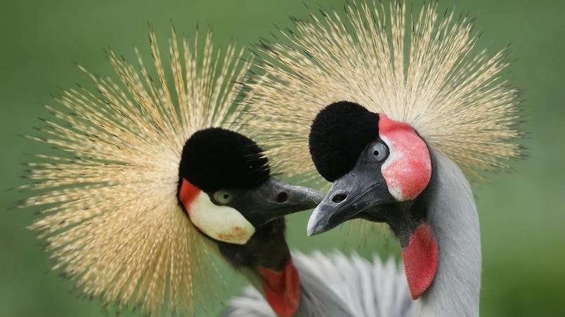 每日酷知識:怎麼當灰冠鶴的媒人