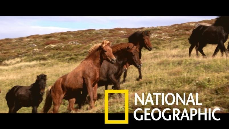 純種培育長達千年之久的冰島馬