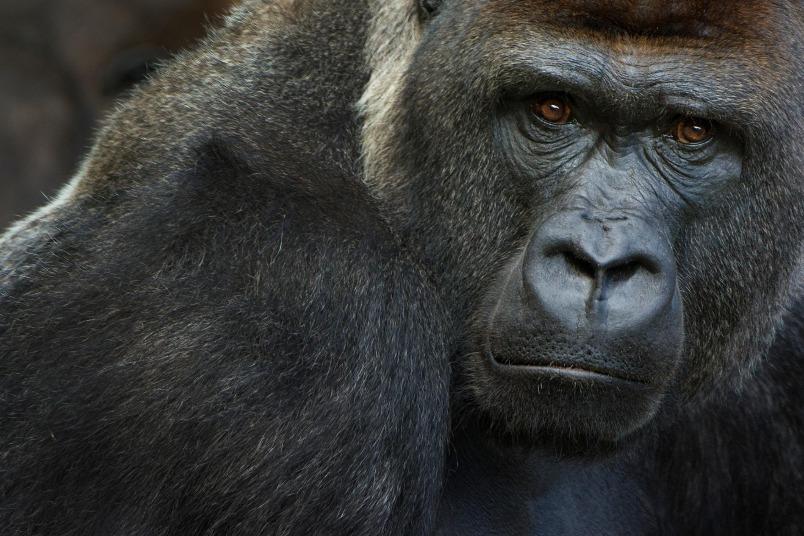 世界首例:加州動物園有數隻大猩猩檢測出COVID-19陽性