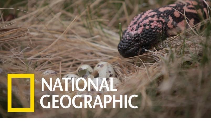 面對氣候變遷,美麗的吉拉毒蜥能存活嗎?