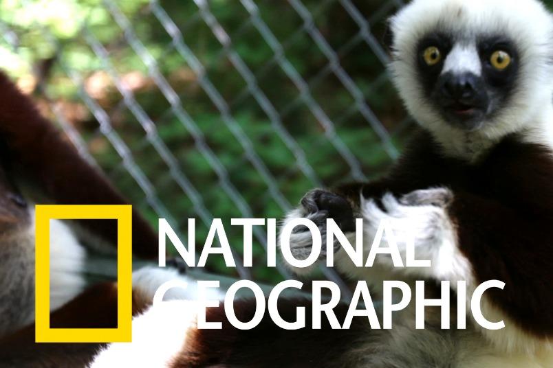 疫苗能幫助拯救瀕臨滅絕的狐猴嗎?