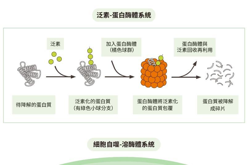 如何運用細胞機制改善脂肪肝?先來認識什麼是泛素與細胞自噬