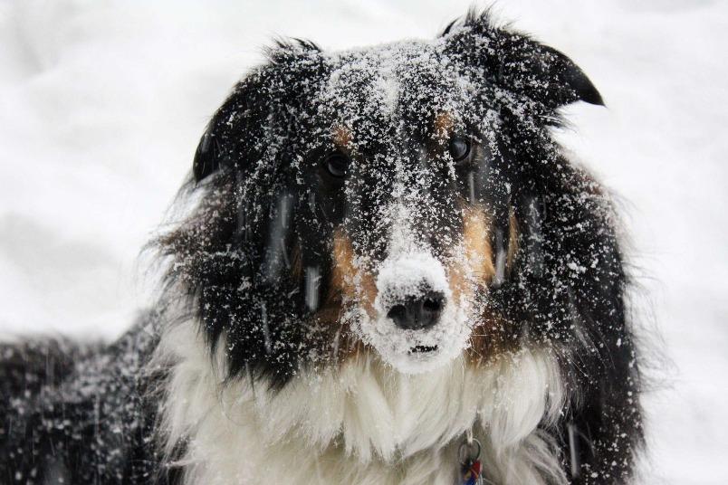 雪中的狗狗