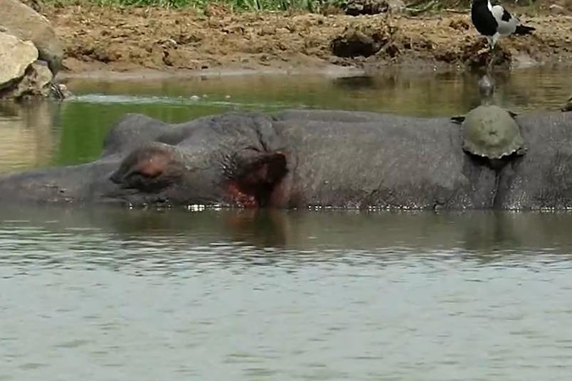 對烏龜來說,呼呼大睡的河馬是超棒的日光浴浮臺!