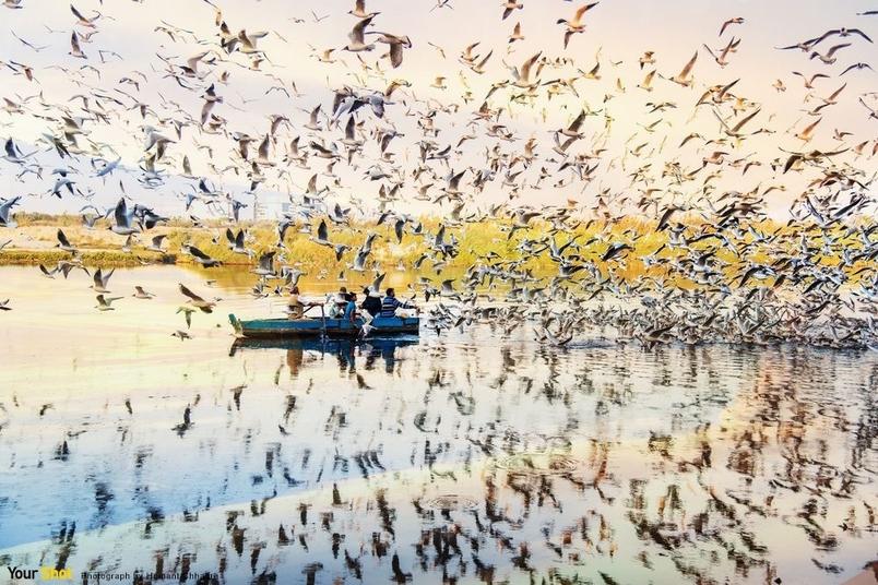 西伯利亞海鷗