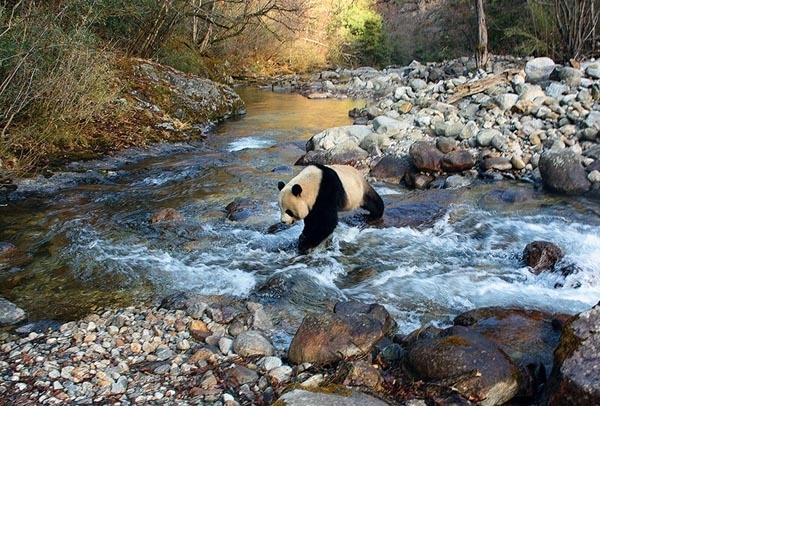 影像藝廊:大貓熊的漫漫歸鄉路