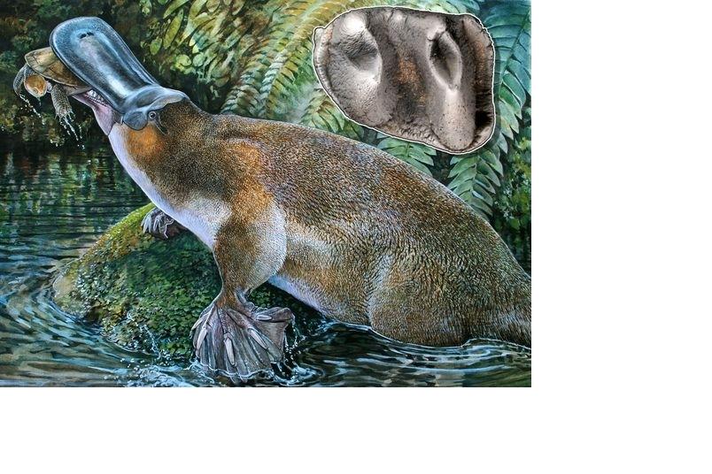 發現超大史前鴨嘴獸